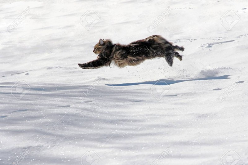 84148624-a-norwegian-forest-cat-running-with-big-jumps-by-the-snow