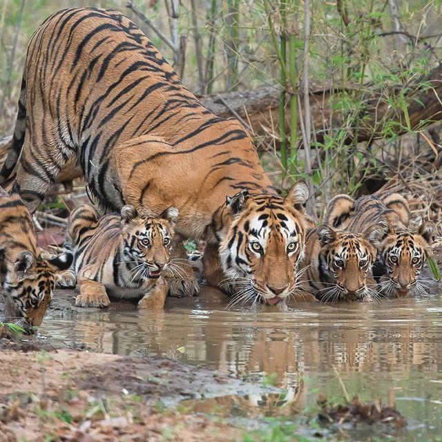 котэ-фото-тигры-песочница-6371364