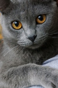 60edce15634a3782f06a88faa47777be--gorgeous-eyes-beautiful-cats