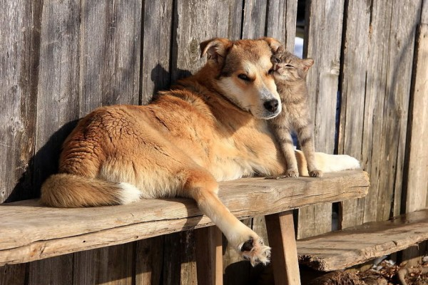 собака-деревенский-кот-4528588