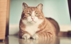www.GetBg.net_Animals___Cats_Red_sad_fat_cat_on_the_floor_046799_
