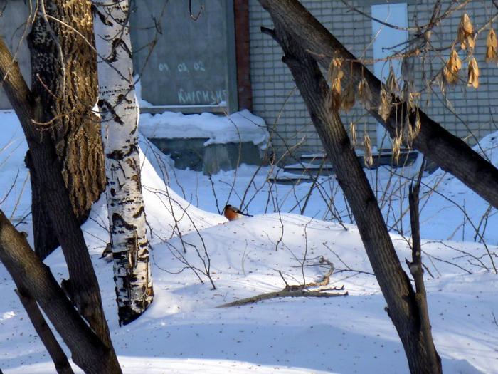 Snegir in Tyumen, bioplant.lj.ru.P10809560