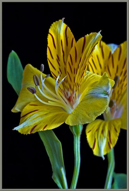 flower dissection  alstroemeria - the peruvian lily