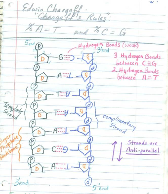 DNA Structure 11/12-13 and DNA Replication 11/14-15 NOTES ...