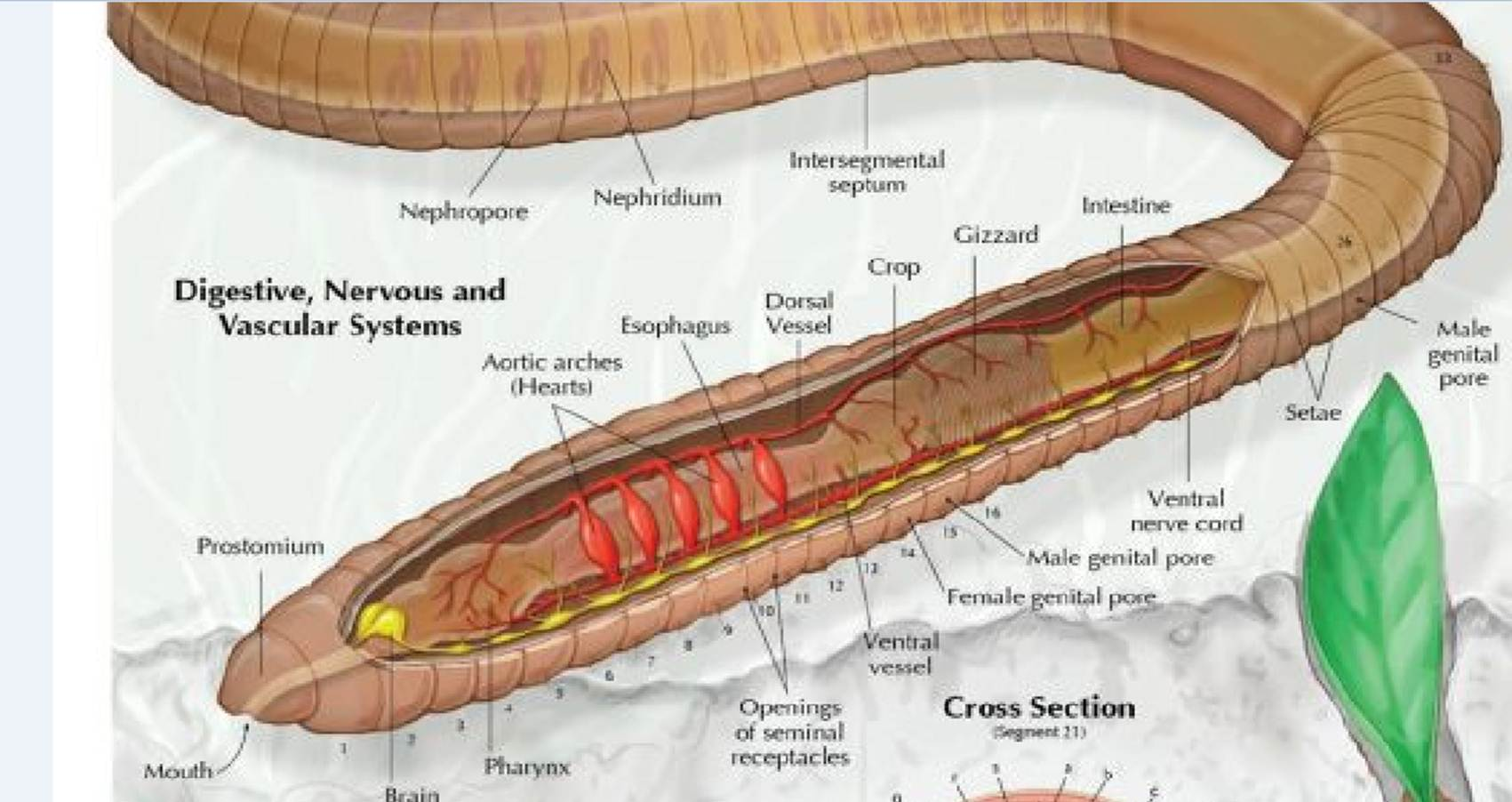 Colorful Earthworm Anatomy Diagram Component Human Anatomy Images
