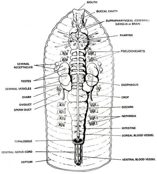 BioTexan – Crayfish Dissection Worksheet Answers
