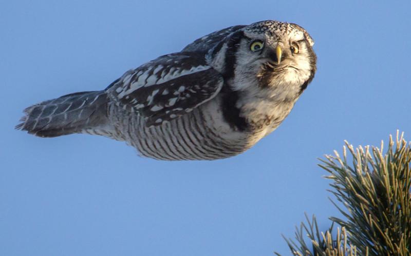 potd-owl_3490388k