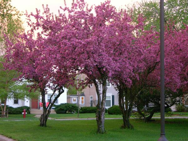 nokomis pink trees1 web