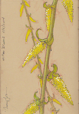 willow bloom sketch scan