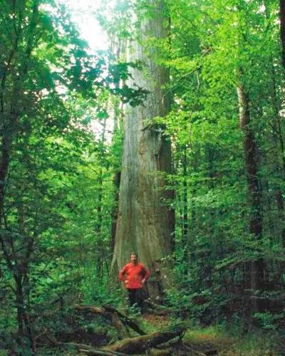 Почему наши леса молодые (2)