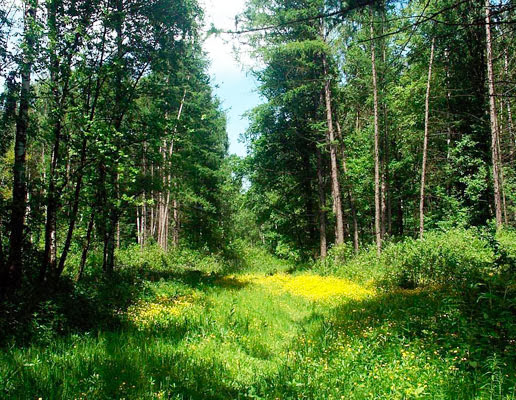 Почему наши леса молодые (6)