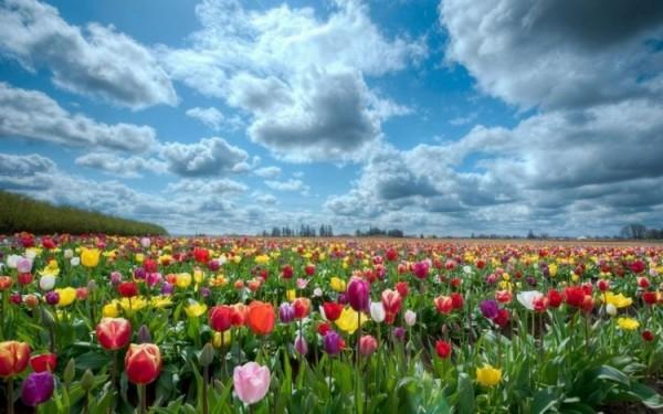 1297903046_tulips-26