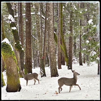 snowy deer.jpg