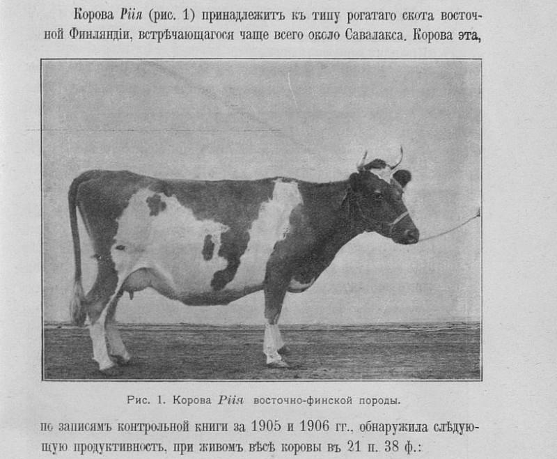 Корова Рiiя восточно-финской породы 21 пуд 38 фунтов.