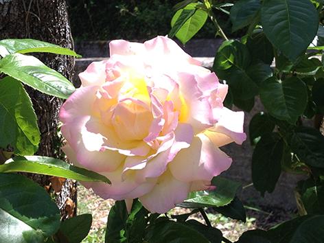 corfu-rose
