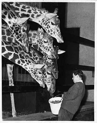 Многоголовый жираф