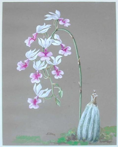 Орхидеи_Шикльгрубер
