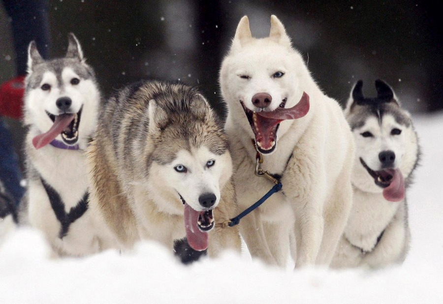 dogs-and-sleds-01