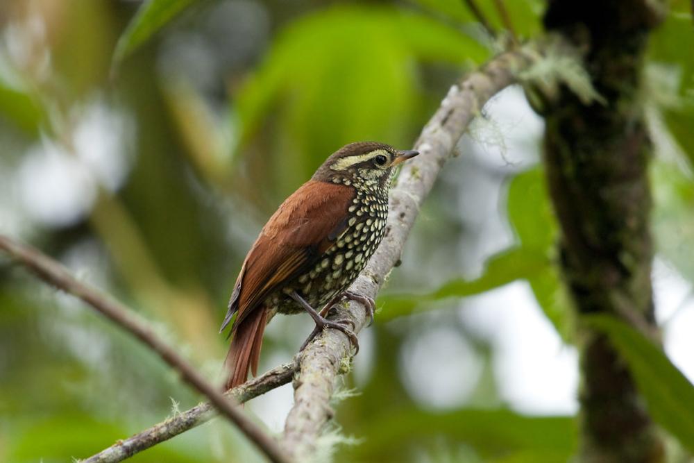 Жемчужный щетинкохвостый горшечник (Margarornis squamiger)