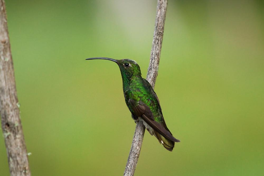 Горный колибри (Lafresnaya lafresnayi)