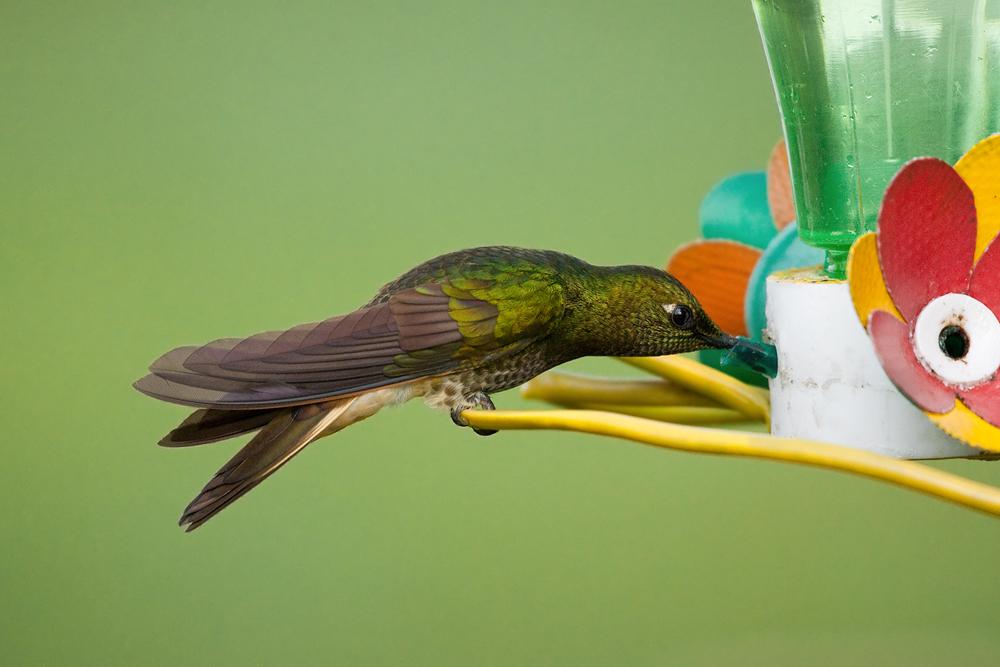 Бледнохвостый венценосный колибри (Boissonneaua flavescens)