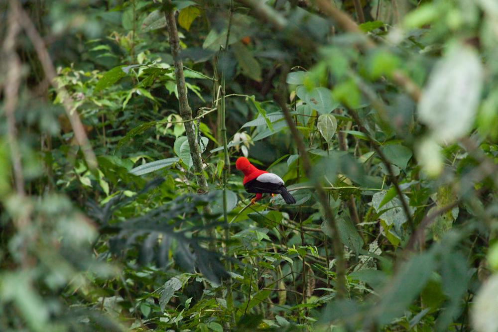 Андский скальный петушок (Rupicola peruvianus)