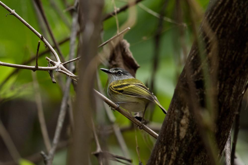 Серогорлый тоди-мухолов (Poecilotriccus sylvia)
