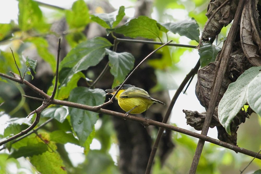 Желтобрюхий тоди-мухолов (Todirostrum cinereum)