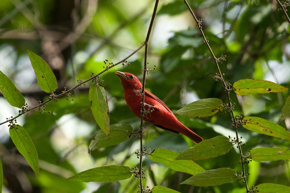 Алая пиранга (Piranga rubra)