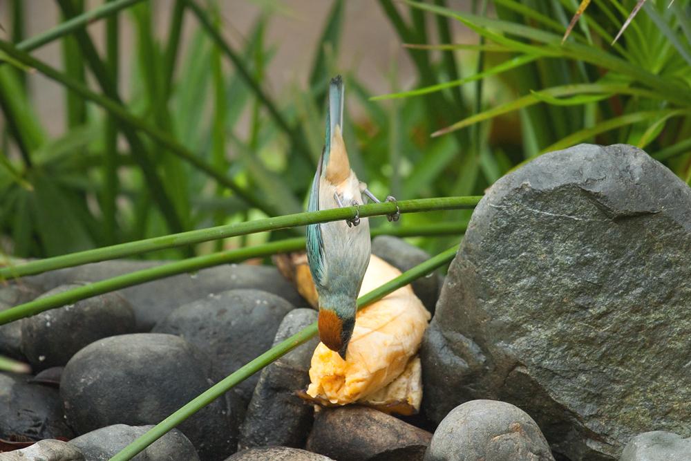 Краснозатылочная танагра (Tangara vitriolina)