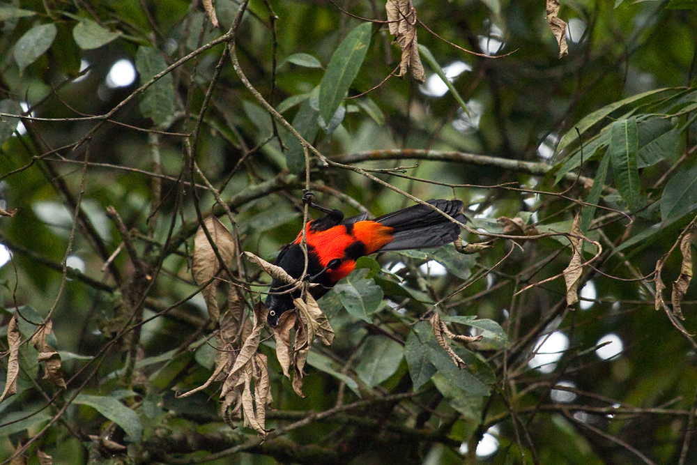 Краснобрюхий трупиал (Hypopyrrhus pyrohypogaster)