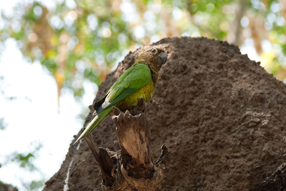 Коричневощёкая аратинга (Aratinga pertinax)