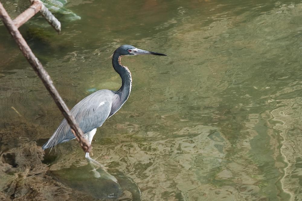 Трёхцветная цапля (Egretta tricolor)
