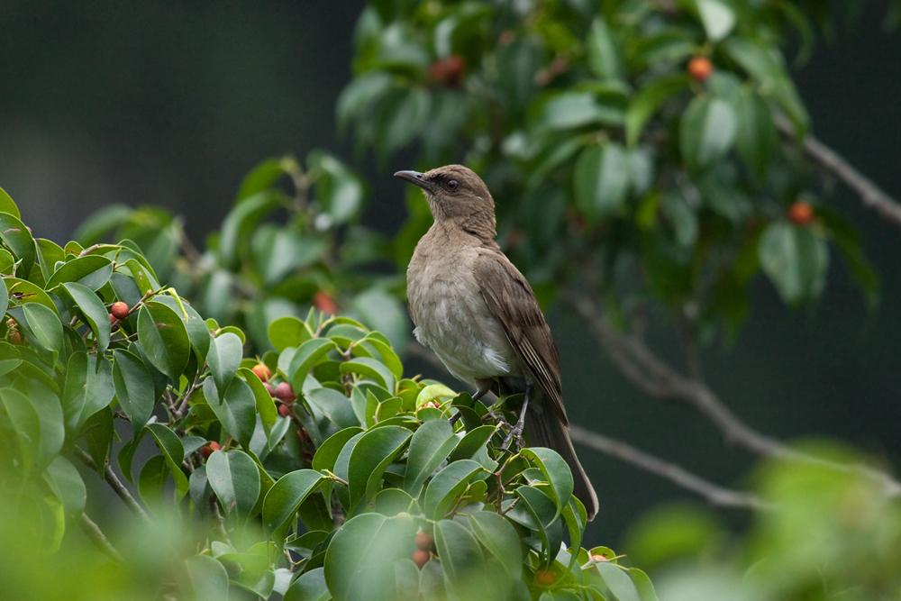 Черноклювый дрозд (Turdus ignobilis)