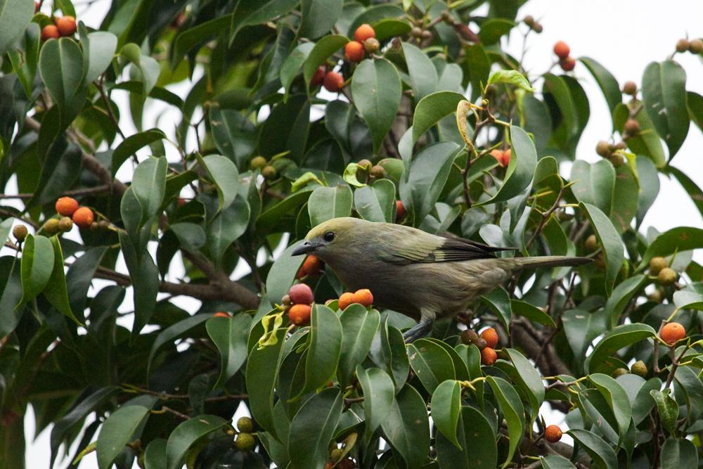 Пальмовая танагра (Thraupis palmarum)