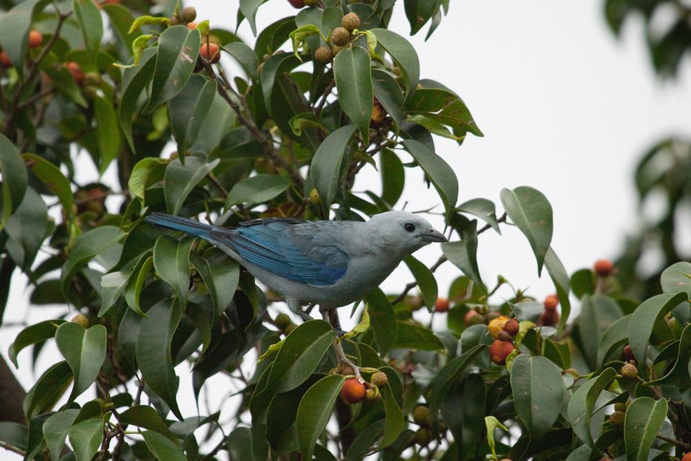 Серо-голубая танагра (Thraupis episcopus)