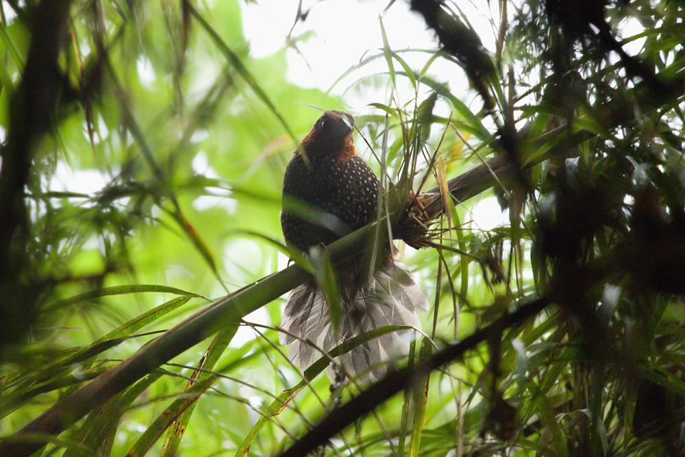 Глазчатый тапаколо (Acropternis orthonyx)