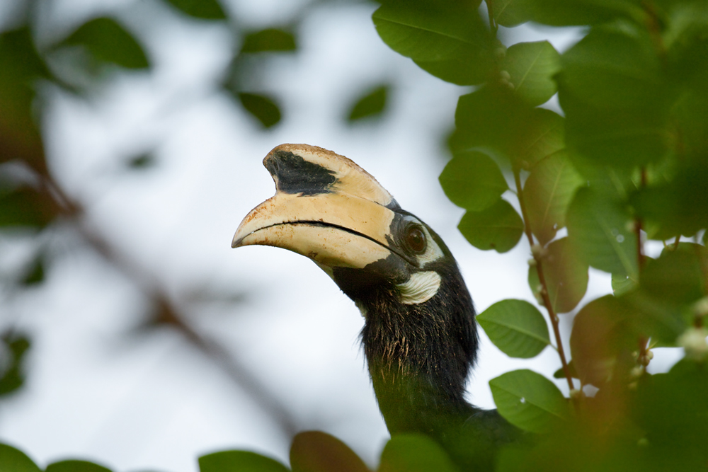 Southern Pied-Hornbill (Anthracoceros convexus)