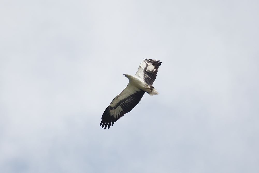 Белобрюхий орлан (Haliaeetus leucogaster)
