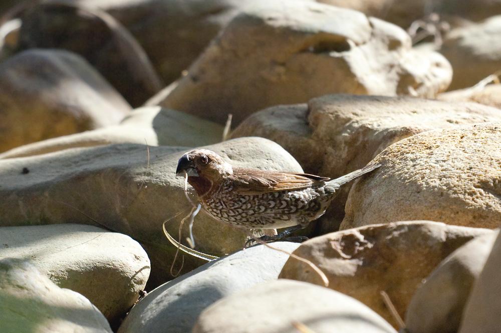 Чешуйчатогрудая амадина (Lonchura punctulata)