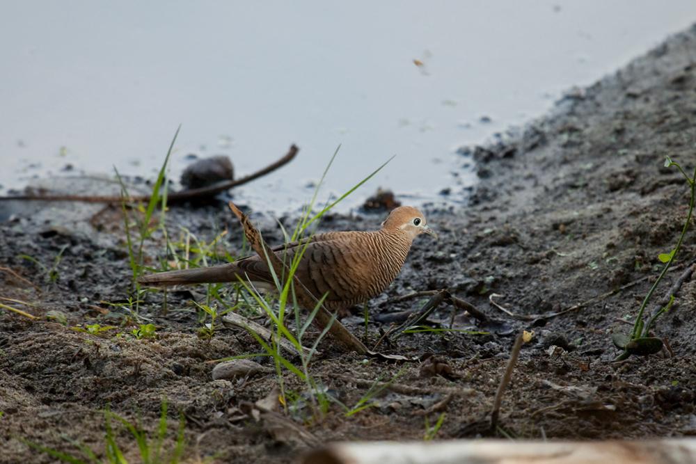 Полосатая горлица (Geopelia striata)