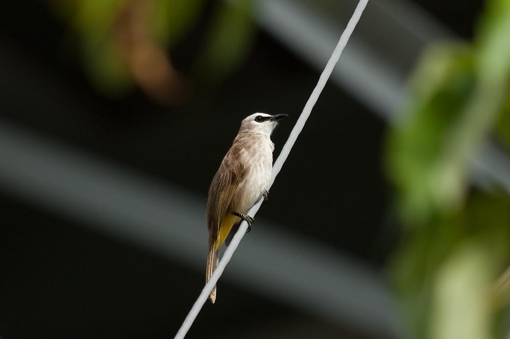 Желтобрюхий бюльбюль (Pycnonotus goiavier)