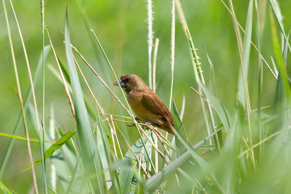 Восточная черноголовая муния (Lonchura atricapilla)