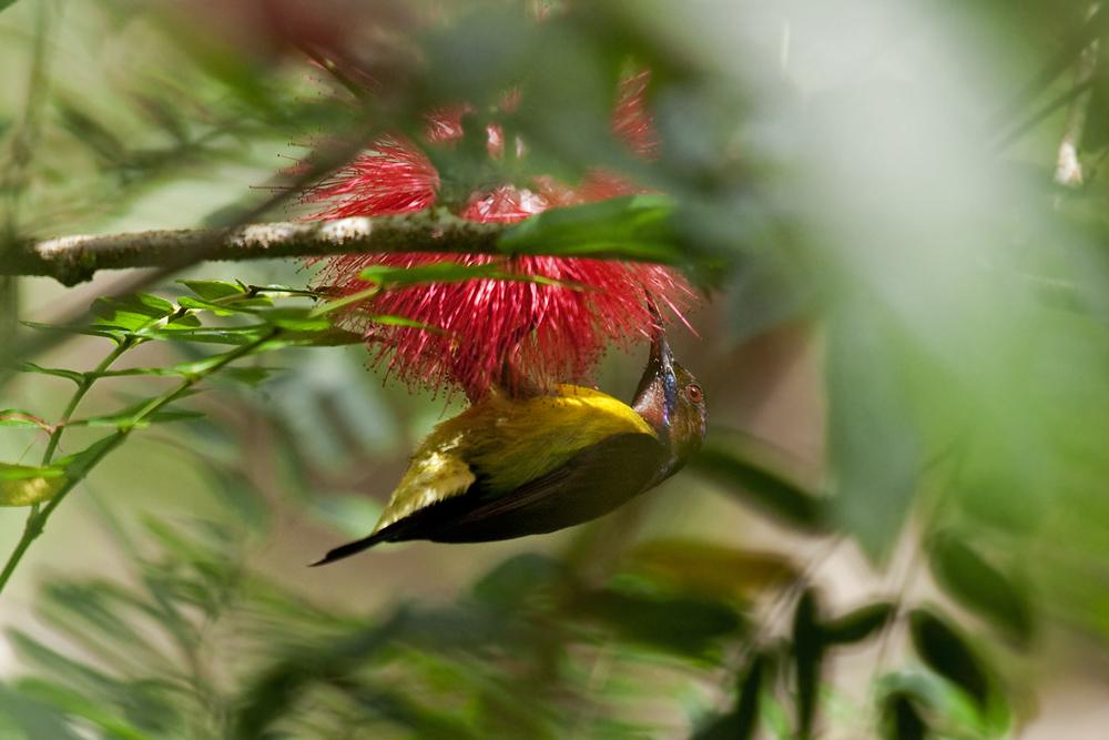 Коричневогорлая короткохвостая нектарница (Anthreptes malacensis)