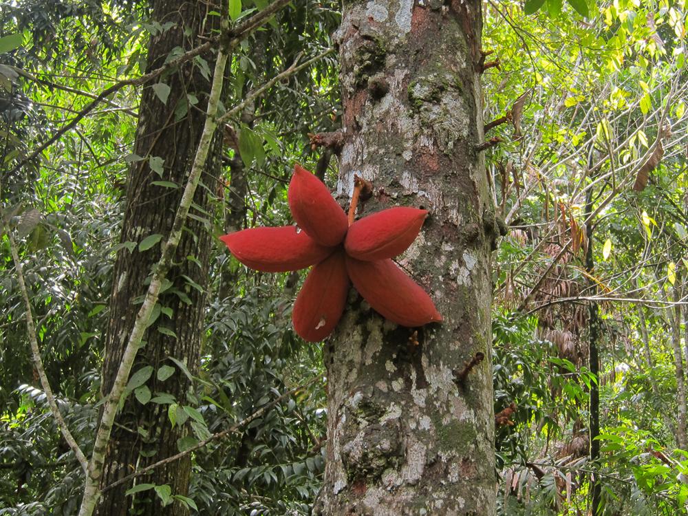 Стеркулия большелистная (Sterculia megistophylla)