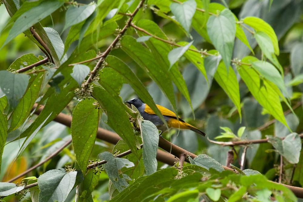 Серобрюхий бюльбюль (Pycnonotus cyaniventris)