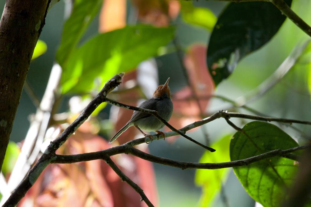 Пепельная портниха (Orthotomus ruficeps)