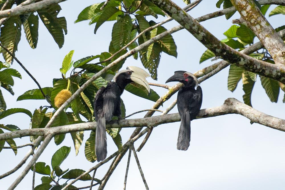 Чёрная птица-носорог (Anthracoceros malayanus)