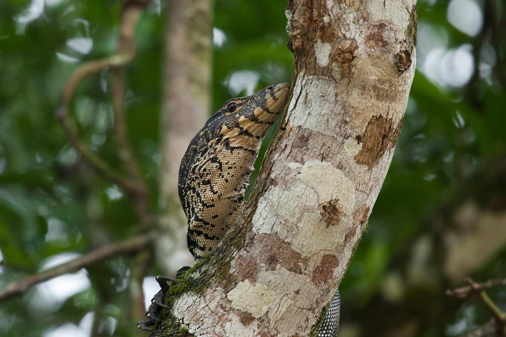 Полосатый варан (Varanus salvator)