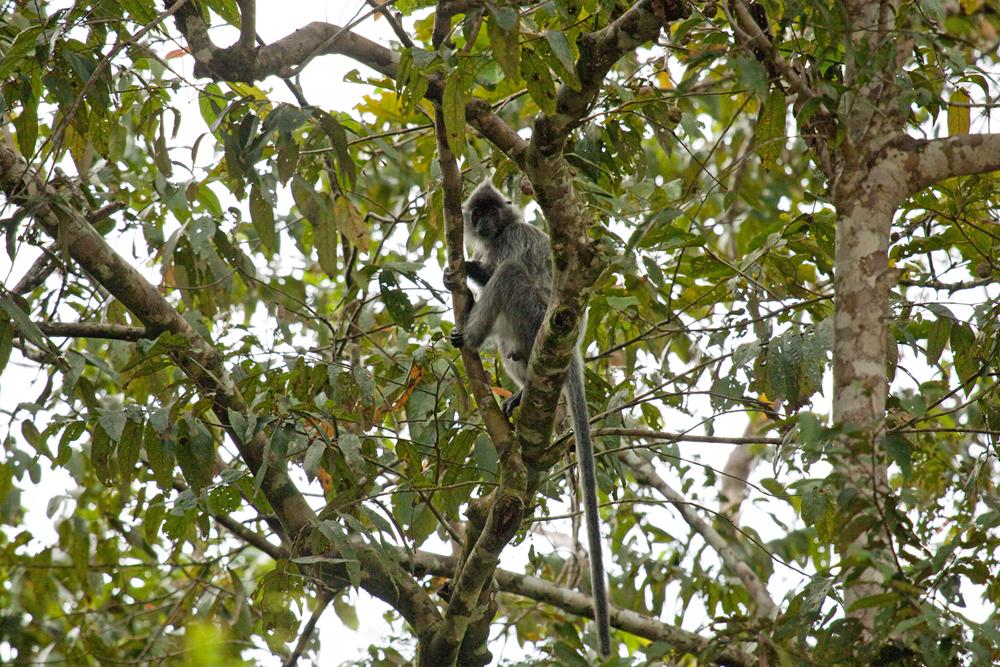 Серый лангур (Presbytis hosei)
